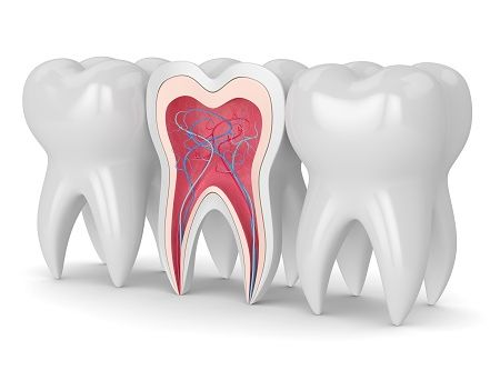 3d render of teeth cross section with nerves and blood vesselss over white background